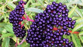 Berry good: Sauco is among the fruit used in Peruvian cuisine. Photo: Mrdoctorwil