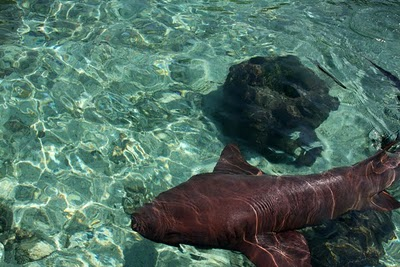 Nurse sharks at the aquarium at Islas Rosario, near Cartagena. Photo: LatinFlyer.com