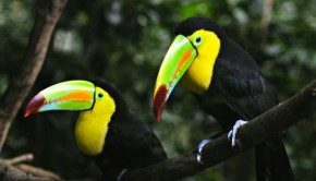 Colorful toucans at Macaw Mountain in Honduras. Photo: Natasha Padgitt