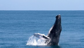 Tis the season: Humpback whales are back at the Dominican Republic's Samana Peninsula.