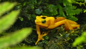 The rana dorada — golden frog — is a resident of El Valle de Antón, Panama. Photo: Hal Peat