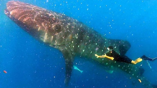 Whale sharks are the largest fish on earth. Photo: Gabriel López Silva