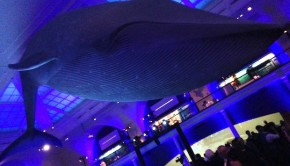 The blue whale at the American Museum of Natural History: Backdrop for the debut of Mexico travel videos.