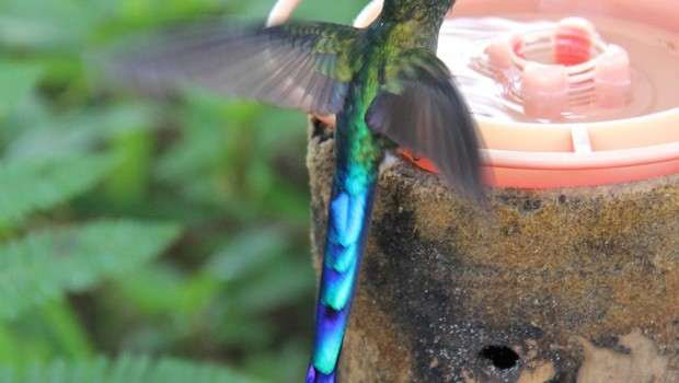 A colorful hummingbird stops and sips at Bellavista in Ecuador.