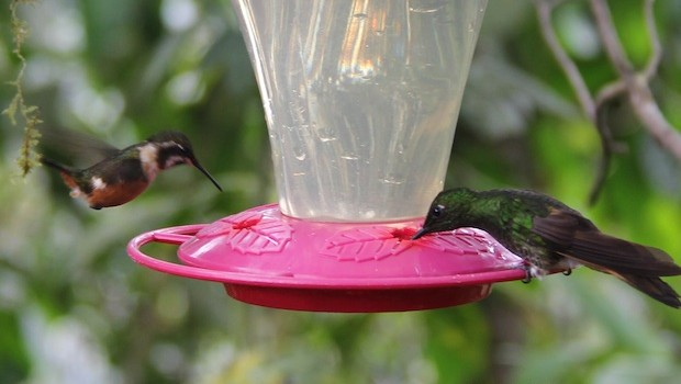 Feeding time is all day for hummingbird visitors to Bellavista in Ecuador.