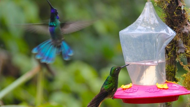 Colorful hummingbirds are frequent visitors to Bellavista in Ecuador.