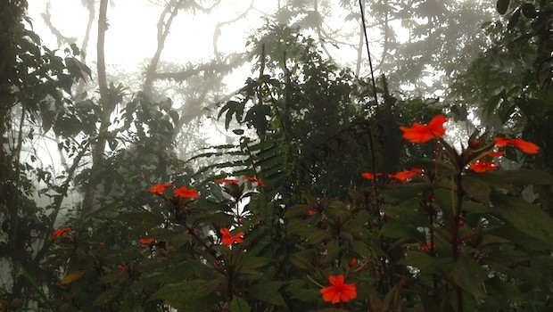 Beautiful flowers stand out at Ecuador's Bellavista cloud forest.