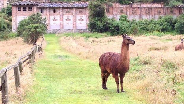 A llama stands near an abandoned brewery at El Cajas national park in Ecuador.