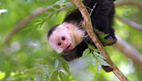 Capuchin monkeys are among the wildlife in Costa Rica.