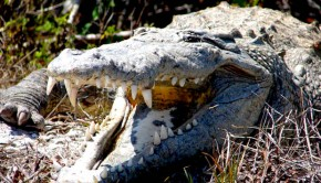 Smile! The American crocodile. Photo: U.S. Fish and Wildlife Service Headquarters