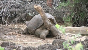 Lonesome George, when he lived in Ecuador. PHOTO: Mike Weston