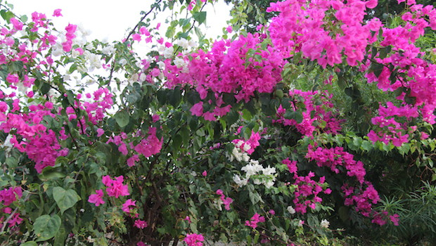 Colorful flowers make Isla Contadora even prettier.