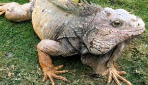 Parque de las Iguanas — Iguana Park — is a must-see attraction in Guayaquil.