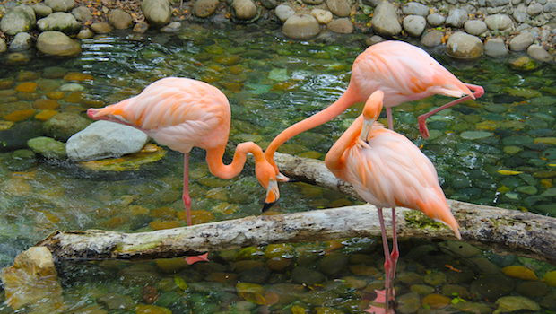 Chilean flamingos are among the residents at Parque Historico in Guayaquil.