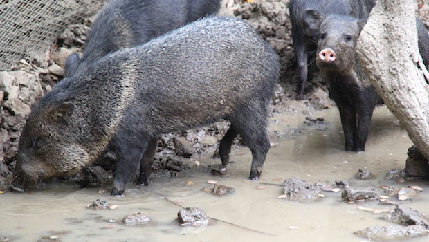 Collared Peccaries socialize at Guayaquil's Parque Historico.