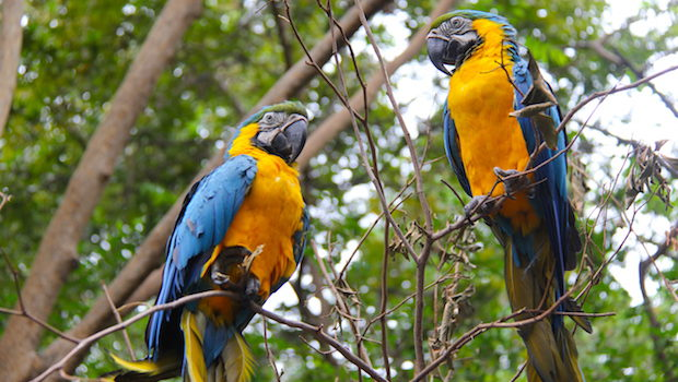 Blue-and-yellow macaws from Ecuador's Oriente region.