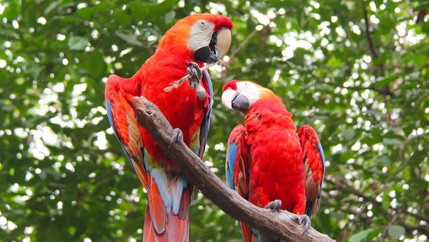 Scarlet macaws perch at Parque Histórico in Guayaquil.