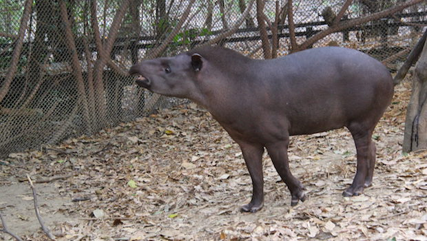 The South American Tapir uses its snout to grasp leaves and roots.