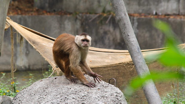 Capuchin monkeys live at Parque Histórico in Guayaquil.