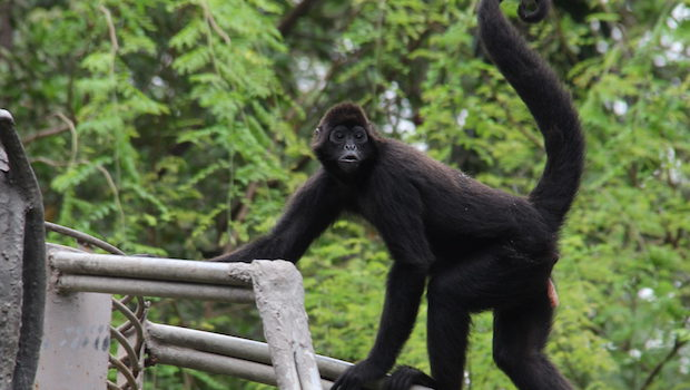 Spider monkeys cast a curious gaze at visitors in Guayaquil.