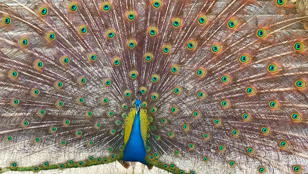 A proud peacock resident at Princess Mundo Imperial Acapulco hotel.